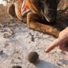 """alt=""""perro detector escarabajos"""""""