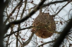 Un nido de avispa asesina (Foto de archivo)