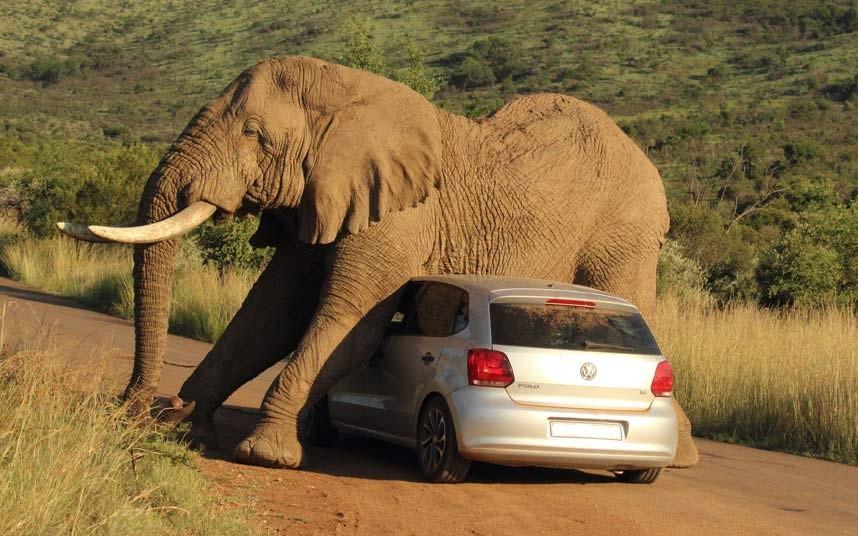 "alt=""Elefante aplasta coche"""