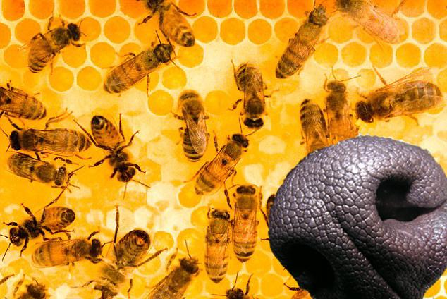 "alt=""abejas en lugar de perros detectores"""