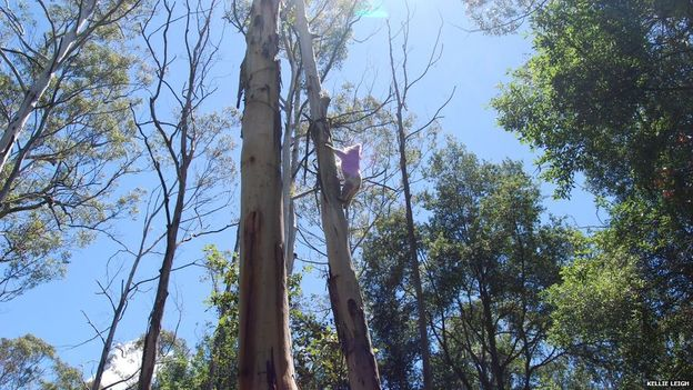 "alt=""perros para detectar koalas"""