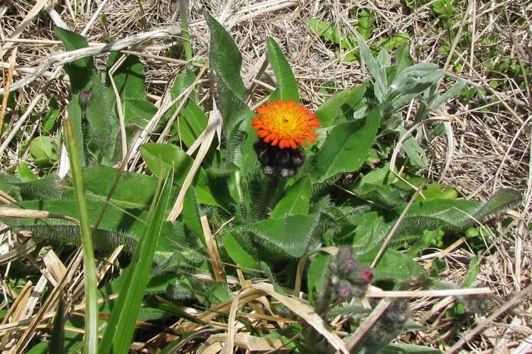 La Pilosella es casi y indetectable cuando no tiene flor (Foto: Office of environment & heritage)