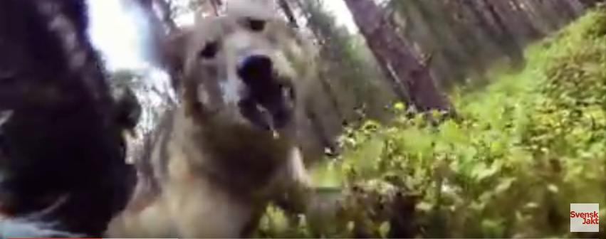 """alt=""""lobos atacan a perra de caza"""""""