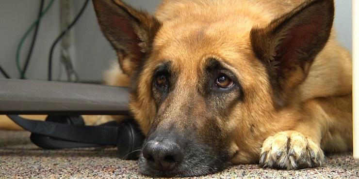 "alt=""Estrés-post-traumático-perros-militares"""
