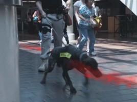 """alt=""""vapor-wake perros detectores explosivos personas en movimiento"""""""