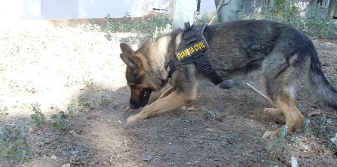Perro detector cadáver Guardia Civil