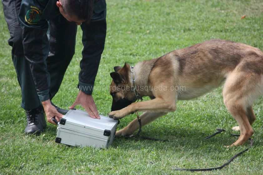 Multidisciplina Perro detector drogas Guardia Civil