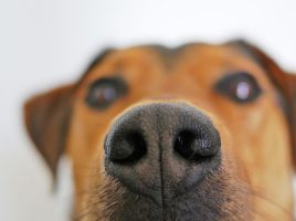 cómo detectan los perros la diabetes