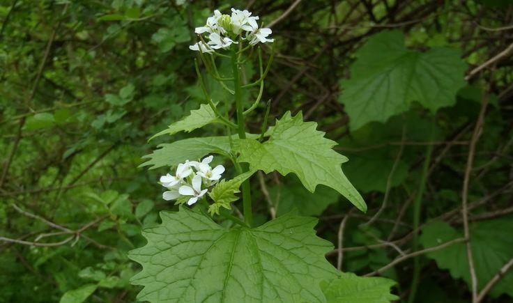 Aliaria, una planta nociva