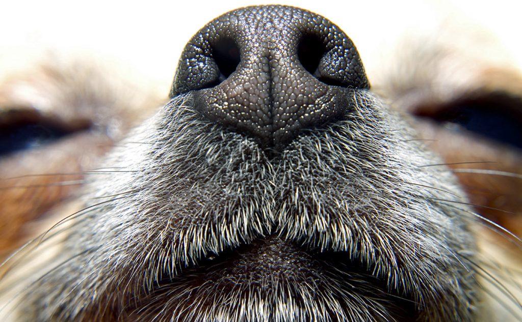 nariz del perro
