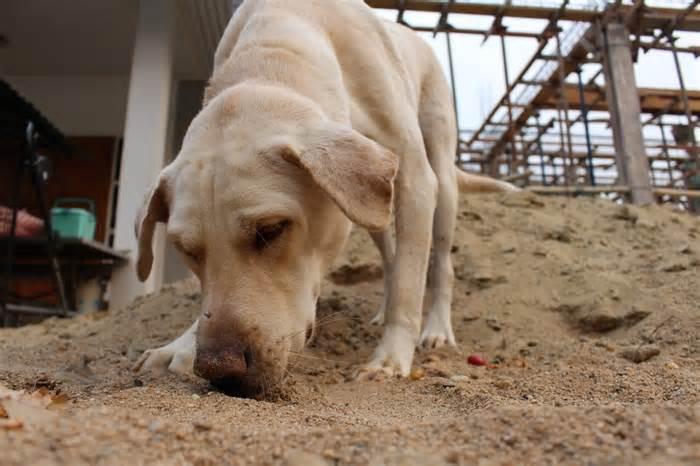 Perros detectores de Fallopia japonica