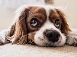 crisis del coronavirus y perros