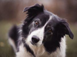 entrenando perros para detectar COVID-19