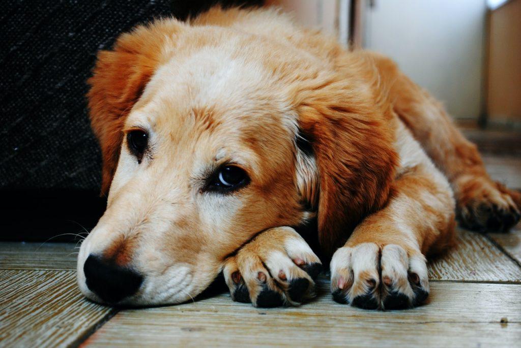 los perros se contagian o no