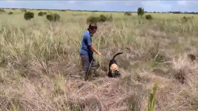 perros detectan serpientes pitón